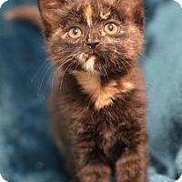 Adopt A Pet :: Fettuccine 160660 - Atlanta, GA