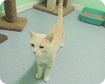 Domestic Shorthair Cat for adoption in Athens, Alabama - Bailey