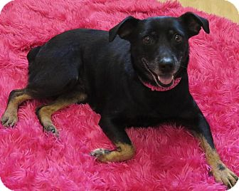 Cattle Dog/Manchester Terrier Mix Dog for adoption in High Point, North Carolina - Charlotte