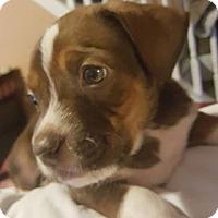 Hound (Unknown Type) Mix Puppy for adoption in Burlington, North Carolina - Bowie