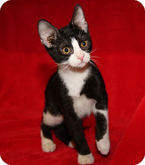 Domestic Shorthair Cat for adoption in Marietta, Ohio - Caleb (Neutered)