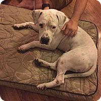 Adopt A Pet :: Capone - Lebanon, ME