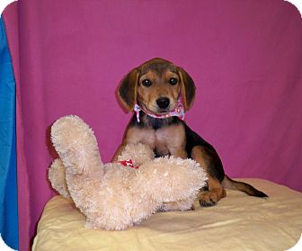 Beagle/Rottweiler Mix Puppy for adoption in Poteau, Oklahoma - CASSIDY