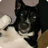 Adopt A Pet :: Gino - Brunswick, OH
