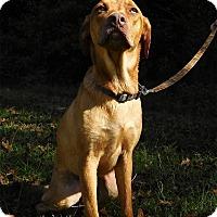 Labrador Retriever/Vizsla Mix Dog for adoption in St. Francisville, Louisiana - Beth