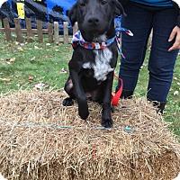 Labrador Retriever Mix Puppy for adoption in Patterson, New York - Milkdud