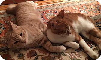 Domestic Shorthair Cat for adoption in Fairfax, Virginia - Mikie (with Tucker)