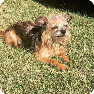 Yorkie, Yorkshire Terrier Mix Dog for adoption in Greensboro, North Carolina - ELLIE