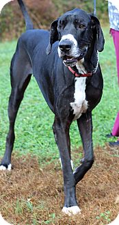 Great Dane Mix Dog for adoption in Waldorf, Maryland - Ruckus