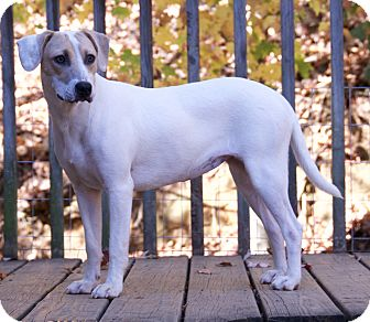 Hound (Unknown Type)/Jack Russell Terrier Mix Dog for adoption in Hagerstown, Maryland - Barbie -  $200