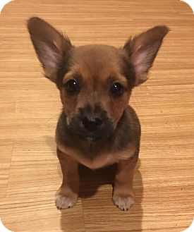 Chihuahua Mix Puppy for adoption in Lexington, Kentucky - Larry