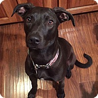 Greyhound/Vizsla Mix Dog for adoption in Lisbon, Iowa - Ellie Mae