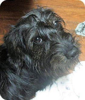 Scottie, Scottish Terrier Mix Dog for adoption in Trenton, New Jersey - Addison