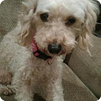 Adopt A Pet :: Carey - Adoption Pending - Centreville, VA