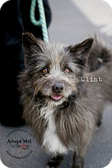 Cairn Terrier Dog for adoption in Burbank, California - Clint ~ Sweet Cairn Terrier!