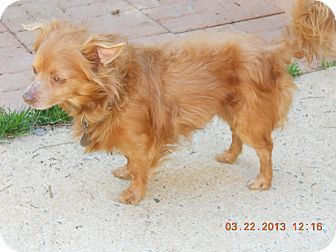 Pomeranian/Chihuahua Mix Dog for adoption in Charlotte, North Carolina - Jacob