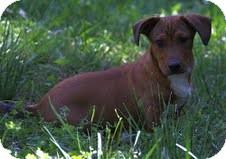 Dachshund Mix Puppy for adoption in Staunton, Virginia - Marco ($200 adoption fee)