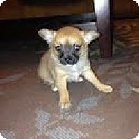 Adopt A Pet :: Sage - Justin, TX