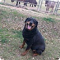 Adopt A Pet :: Nandi - Gilbert, AZ