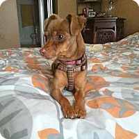 Adopt A Pet :: Browney2 is very loving! - Redondo Beach, CA