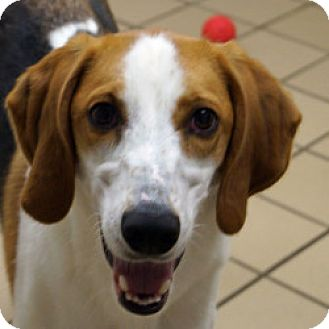 Triggs | Adopted Dog | Eatontown, NJ | Foxhound/Beagle Mix