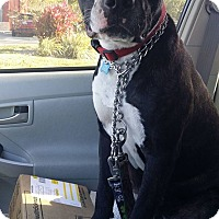 Boxer/American Pit Bull Terrier Mix Puppy for adoption in Miami, Florida - Achilles