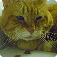 Adopt A Pet :: Tigger - Hamburg, NY