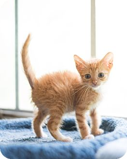 Domestic Shorthair Kitten for adoption in Houston, Texas - Vinny