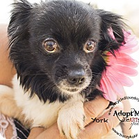 Japanese Chin/Chihuahua Mix Dog for adoption in Inland Empire, California - YORK