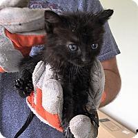 Adopt A Pet :: Gelato - River Edge, NJ