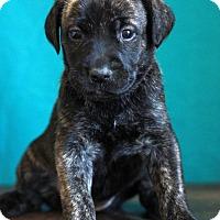 Adopt A Pet :: Cari - Waldorf, MD