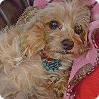 Adopt A Pet :: Velcro - Colorado Springs, CO