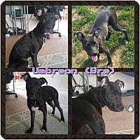 Adopt A Pet :: Umbreon - Dayton, OH