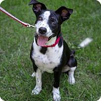 Adopt A Pet :: Justice - ADOPTION PENDING!! - Arlington, VA