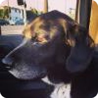 Shepherd (Unknown Type) Mix Dog for adoption in Beverly Hills, California - Jack