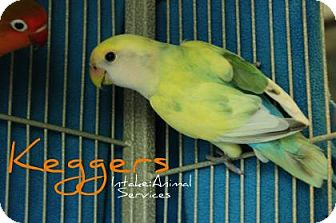 Lovebird for adoption in Hamilton, Ontario - Kegger