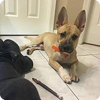 Adopt A Pet :: Champ - Windermere, FL