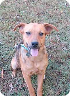 Feist/Labrador Retriever Mix Dog for adoption in Glastonbury, Connecticut - Brisky