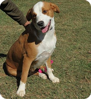 St. Bernard Mix Dog for adoption in Marble Falls, Texas - Misty