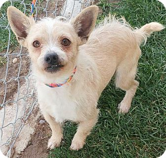 Terrier (Unknown Type, Small)/Yorkie, Yorkshire Terrier Mix Dog for adoption in Fruit Heights, Utah - Scruff