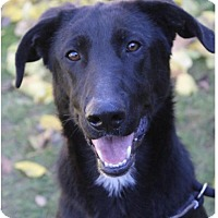 Border Collie/Labrador Retriever Mix Dog for adoption in Red Bluff, California - CHEVY:Low Fees/neutered