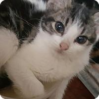 Adopt A Pet :: Baby Smurf - Lancaster, CA