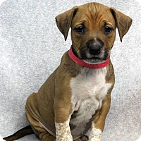 Adopt A Pet :: BRANDI - Westminster, CO