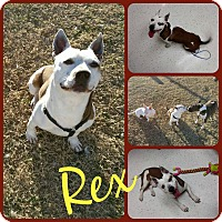 Adopt A Pet :: Rex - Ft Worth, TX