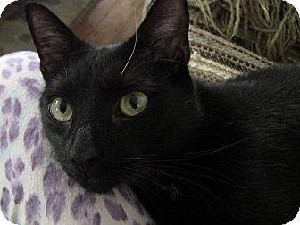 Domestic Shorthair Cat for adoption in Narberth, Pennsylvania - Mickey