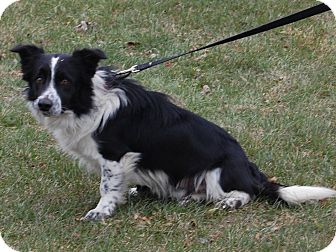 Shorti | Adopted Dog | 11-22-9 | North Judson, IN | Border ...