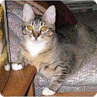 Domestic Shorthair Cat for adoption in Schertz, Texas - Clarissa KB
