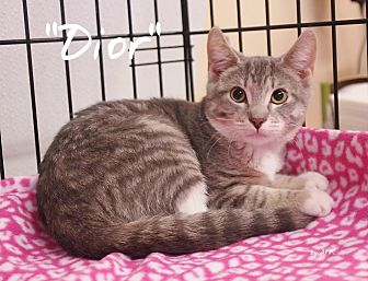 Domestic Shorthair Cat for adoption in Ocean City, New Jersey - Dior