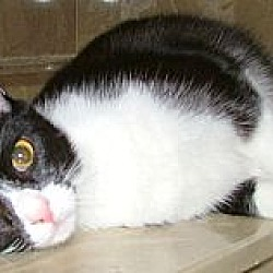 Photo 2 - Domestic Shorthair Cat for adoption in Chattanooga, Tennessee - Ariel