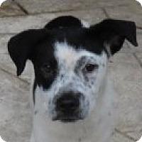 Adopt A Pet :: Bo! Puppy - St Petersburg, FL